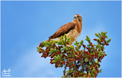 Swainson's Hawk on Patrol (Moe Ali Photography) Tags: blue wild portrait sky cloud nature animals pine female cone outdoor hawk wildlife birding feather raptor perch swainsonshawk swainson canon7dmarkii canon100400ii moealiphotography