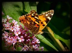 allen eine schne neue Woche !!! (karin_b1966) Tags: schmetterling butterfly insekt insect garten garden natur nature 2016 distelfalter yourbestoftoday
