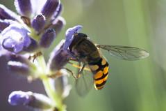 just smell the lavender (gelein.zaamslag) Tags: holland nature insect nederland natuur insects insecten lavendel zweefvlieg geleinjansen