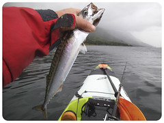 The mackerel are in . (Nicolas Valentin) Tags: fish mackerel scotland kayak kayakfishing stealthkayak surffisha