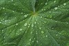 Lady's Mantle (laszlofromhalifax) Tags: plant canada rain closeup droplets leaf backyard novascotia halifax ladysmantle