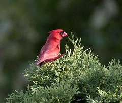 Northern Cardinal (Susan Newgewirtz) Tags: red bird st cardinal outdoor montreal wildlife feathers lazare wildlifephotography nikond750