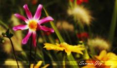 Summer joy (Frank ) Tags: analog eos1 canon agfaphoto vista 35mm petals summer glow europe frnk film v600 topf25 topf50 topf75 topf100