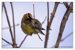 Jaseur des cdres ,Ceder Waxwing,Bombycilla cerorum (beluga 7) Tags: bombycillacerorum cederwaxwind jaseur des cedres jaseurdescdres gatineau garden jardin oiseau canon7d sigma 150600mmcomtempory