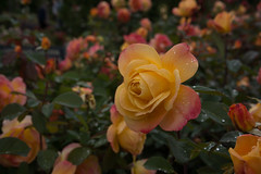 20160809_portland_0048.jpg (fred.carter) Tags: garden travelling usa flora fredcarter northamerica rosebud overcast travel flowerbud vacation weather roses flowers plant
