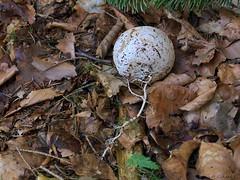Hexenei mit Myzel (Rich Art Light) Tags: pilz pilze stinkmorchel hexenei phallus impudicus mushroom