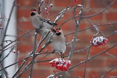 Bohemian Waxwings (huntsbirds) Tags: birds