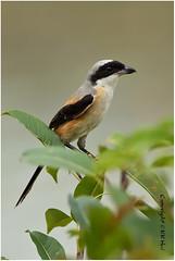 Rufous-backed Shrike (Lanius schach)  - 290816_DSC1855n (KK Hui) Tags: rufousbackedshrike laniusschach  landbird bird