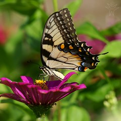 Tiger Swallowtail (Shutter_Hand) Tags: texas usa miguelmendozamuoz clarkgardens botanicalpark weatherford mineralwells secretgarden parquebotnico jardinbotnico botanico jardin jardinsecreto texasgem texasjewel lenscraft sony alpha a900 sonyalphaa900 sonyaf70400mmf456gssm sal70400g butterfly mariposa  papallona sommerfugl perhonen papillon schmetterling farfalla   borboleta  fjril bm    tigerswallowtail