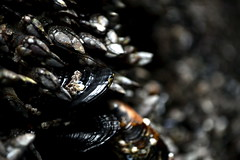 Barnicles and Mussels (rwhgould) Tags: tofino britishcolumbia canada vancouverisland mussels barnacles cave tidal beach southchestermansbeach