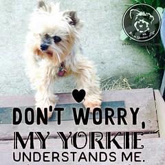 Thank heavens. (itsayorkielife) Tags: instagram itsayorkielife yorkie yorkshireterrier
