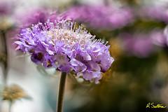 SunKissfex.jpg (raysul) Tags: flower macro flowerphotography floralart closeup depthoffield decorative beautyinmacro