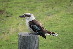 Kookaburra (Mariasme) Tags: wildlife bird kookaburra