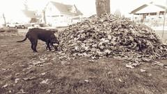 Three Feet High and Rising (Kenneth Wesley Earley) Tags: autumn dog fall leaves sepia spokane seasons seasonal rake northcentral frontyard spokanewa coldsnap 99205 spokanistan emersongarfield htconem8 spokandyland