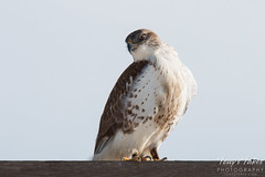Ferruginous Hawk poses for pictures