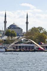 The Turkish Seagul (Aisha Altamimy) Tags: trip travel sea seagulls bird birds turkey istanbul mosque bluemosque crose taqsim intertainment nikkor18105mm seaartwork nikond7000 aishaaltamimy busphor