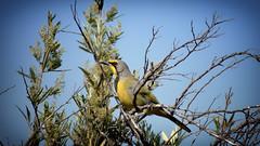 Bokmakierie (WelshPixie) Tags: birds westerncape helderberg bokmakierie helderbergnaturereserve