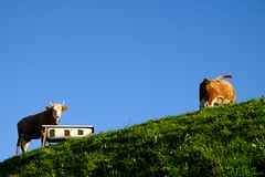 Cows, having a great time.