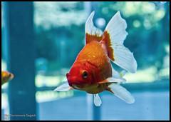 (Dorron) Tags: park parque fish pez museum aquarium nikon san goldfish sebastian country science museo basque urko vasco euskadi eureka donostia pais ciencia espacio guipuzcoa gipuzkoa euskal herria arraina kutxa parkea kutxaespacio miramon museoa kutxaespazioa zientzia sagasti dorronsoro dorron espazioa d3s