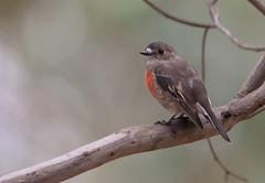 scarlet robin (Petroica boodang)-2409 (rawshorty) Tags: birds australia canberra act mulligansflat rawshorty