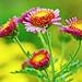 Pink Florists' Daisy (Varieties Unknown) / 小菊(花玉)