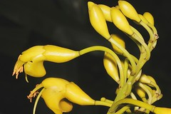 Castanospermum australe (andreas lambrianides) Tags: bean blackbean fabaceae moretonbay australianflora castanospermumaustrale moretonbaychestnut australiannativeplants arfp australianrainforests australianrainforestplants qrfp australianrainforestflowers arfflowers yellowarfflowers moretonbaybean