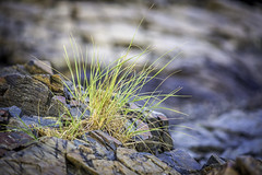 Grass Growing From Beach Rocks (Mabry Campbell) Tags: morning usa nature grass photography coast us photo rocks photographer unitedstates image unitedstatesofamerica maine newengland august nopeople fav20 coastal photograph kennebunkport 100 fav30 f28 fineartphotography 200mm commercialphotography fav10 nohorizon editorialphotography 2013 fav40 ef200mmf28liiusm intimatelandscape northeastus houstonphotographer sec northeastunitedstates mabrycampbell august142013 201308140h6a5497