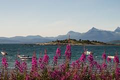 Virakyene (jankurtjohansen) Tags: flowers sea sky mountains boat willowherb ofoten virak northernnorway saltvik ofotfjorden vidrek virakyene
