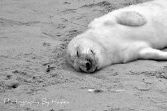 Seal Colony on the Norfolk Coast (Haylea Jayne Photography) Tags: uk baby cute beach pups north norfolk young gap seal seals pup horsey colony bbies