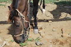 Beautiful (goodnessgraci0us) Tags: horse caballo aruba oranjestad kabayo beachhorse beautifulhorse onehappyisland onehappyhorse arubanhorse