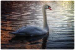 Sunset Swan (happymillerman) Tags: sunset swan