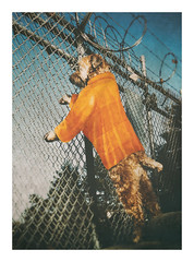 Planning to Escape (Do the Twist!) Tags: dog fence wire humor prison terrier barbed prisoner wheaten softcoated
