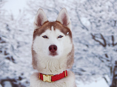 DSCN8847 (demilflowe) Tags: trees winter light red portrait dog pet snow cold tree cute dogs nature animal animals pose season fur fun photography photo cool model nikon husky soft photos bokeh covered siberianhusky lookatme siberian breed collar northern playful
