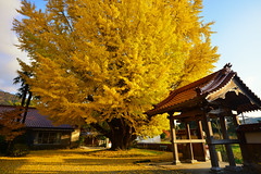 Perfect Yellow 浄善寺 (Yohsuke_NIKON_Japan) Tags: autumn leaves yellow japan leaf colorful wide 銀杏 shimane 秋 nano d600 島根 1635mm 山陰 odashi 浄善寺