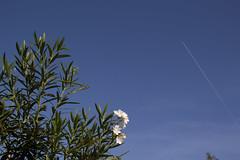 Into the Blue (KevPBur) Tags: travel whiteflower sevilla spain bluesky seville negativespace andalusia vapourtrail aircrafttrail