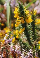 Ajonc de Le Gall (Ulex gallii) et Bruyre vagabonde (Erica vagans) (photoposie) Tags: ulexgallii ericavagans ericace lguminosefabaceexpapilionace