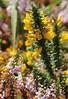 Ajonc de Le Gall (Ulex gallii) et Bruyère vagabonde (Erica vagans) (photopoésie) Tags: ulexgallii ericavagans ericacée léguminoséefabacéeexpapilionacée
