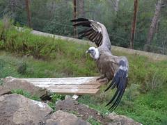 Voltor com (Gyps fulvus) (Hachimaki123) Tags: bird animal ave vulture birdofprey buitreleonado buitre gypsfulvus griffonvulture averapaz voltorcom