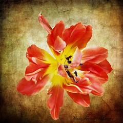 Contrast* (MarieFrance Boisvert) Tags: december tulips tulip tulipe 2014 topazremask topazimpression noirobscur