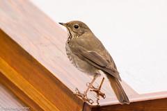Hermit Thrush (Catharus guttatus) (Michael J Porter) Tags: canada bird birds vancouver backyard britishcolumbia