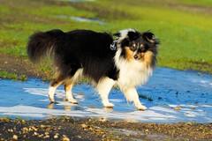 My New Year resolution (Sheltie Dog World) Tags: ice frost sheltie halo newyearmessage sheltieworld sheltiesonline sheltiedogphotos shetlandsheepdogphoto shetlandsheltiecolliesheepdog shetlandsheltiesheepdog sheltiestorys