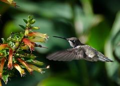 Female Black-chinned Hummingbird - ? (hickamorehackamore) Tags: sanantonio nikon december texas hummingbird tx botanicalgarden 2014 sanantoniobotanicalgarden