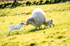 Lambs (Tom Hagen) Tags: nature tom photography kiss country lamb lambs hagen bizkaia basque euskal herria cordero corderos bildotsa tomhagen tomhagenphotos bildotsak