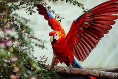 Guacamayos (Charly Torres (Nikolandscape)) Tags: napo amazonia guacamayos hosteriaoroyluna