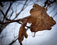 2014_69 (casirfm) Tags: winter snow canon leaf drops neve inverno dicembre brianza 2014 casirfm canoneos1100d