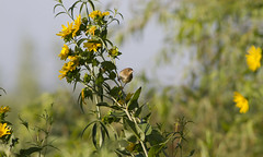 Summer Dream (Polytelis) Tags: summer sunflower helianthus commonyellowthroat geothlypistrichas