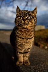 Lynx Minor forte (CoreForce) Tags: cat schweiz luzern notmycat nottwil