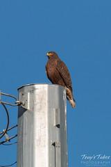 Elusive dark morph Ferruginous Hawk