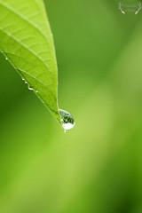 Water Droplets (Say! Little Hen) Tags: plant macro water grass rain closeup canon outdoors bright availablelight sharp macroshot raindrop canon100mmmacro macrolens macrophotography waterdroplet naturallighting canonaustralia canon550d canoneos550d