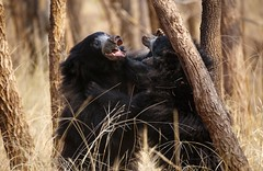 Sloth Bear cubs at play (theindiannaturalist) Tags: bear india cute nature beauty woodland play natural wildlife central sloth cubs sat playfighting slothbear actionphotography centralindia wildlifephotography indianwildlife incredibleindia satpura indianaturephotography tigerhabitat indianbears